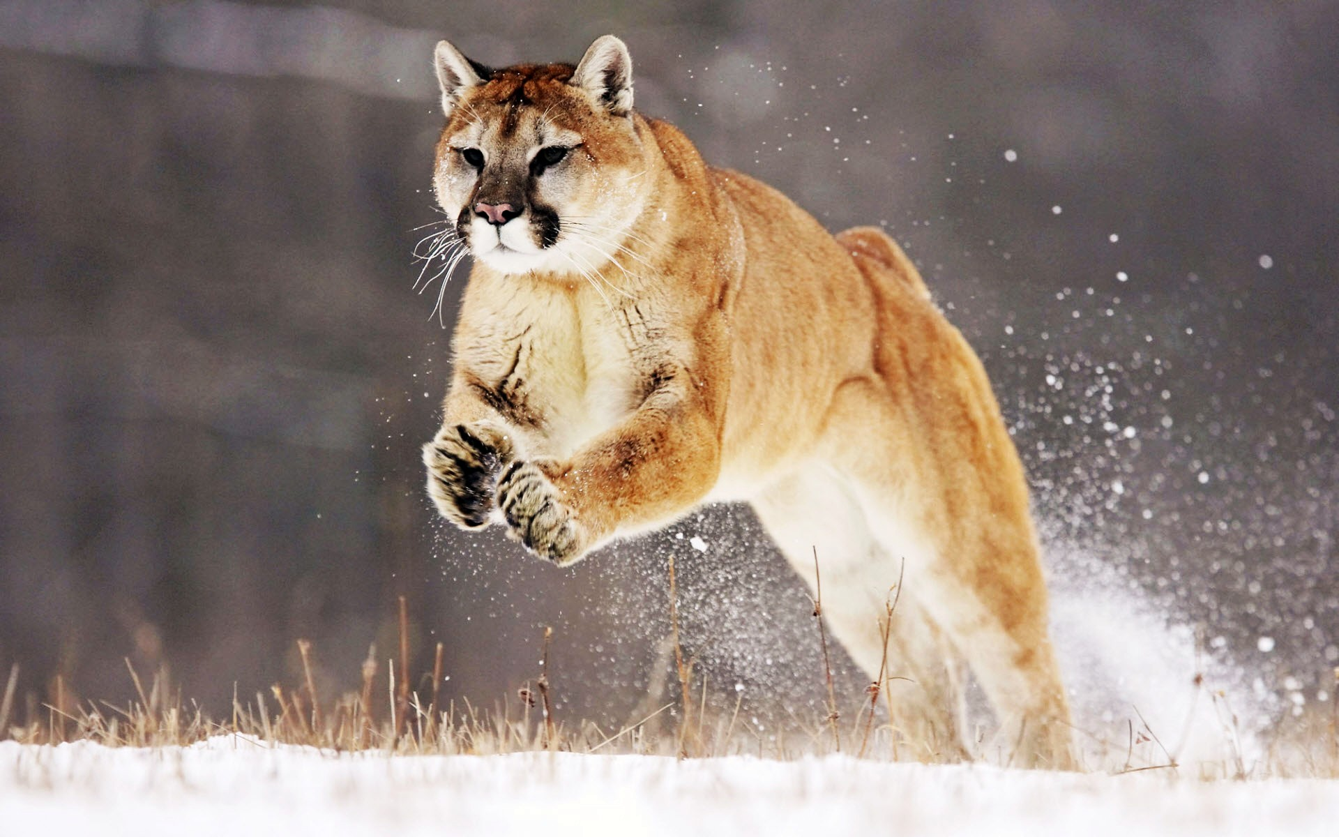 Mountain Lion5408316672 - Mountain Lion - Mountain, Lion, Leopard