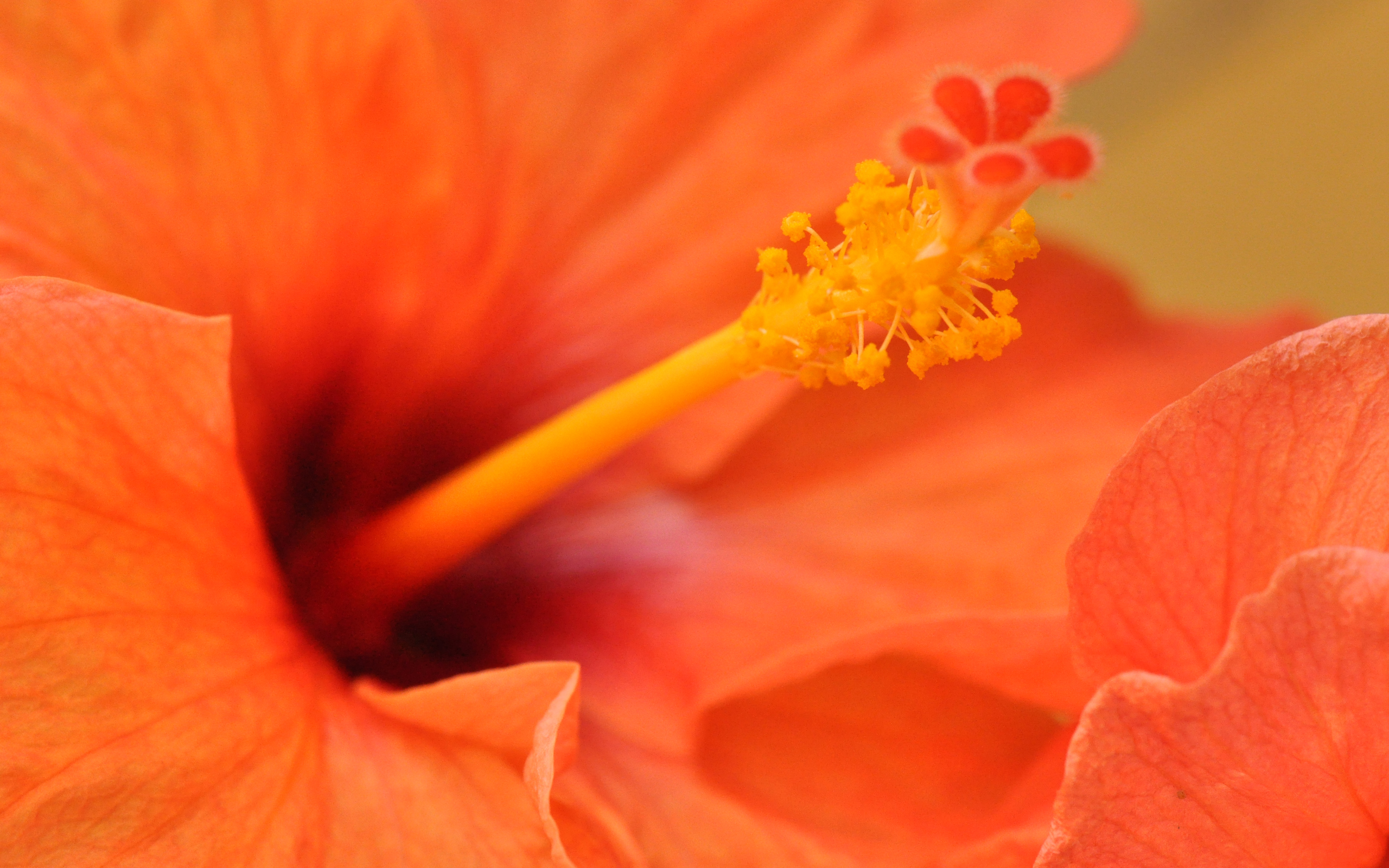 Orange Hibiscus Flower1867219552 - Orange Hibiscus Flower - Spring, orange, Hibiscus, flower