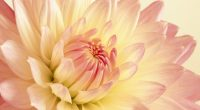 Pale Pink and Yellow Dahlia391607374 200x110 - Pale Pink and Yellow Dahlia - yellow, Single, Pink, Pale, Dahlia