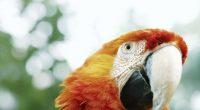 Parrot9085814915 200x110 - Parrot - Parrot, Male