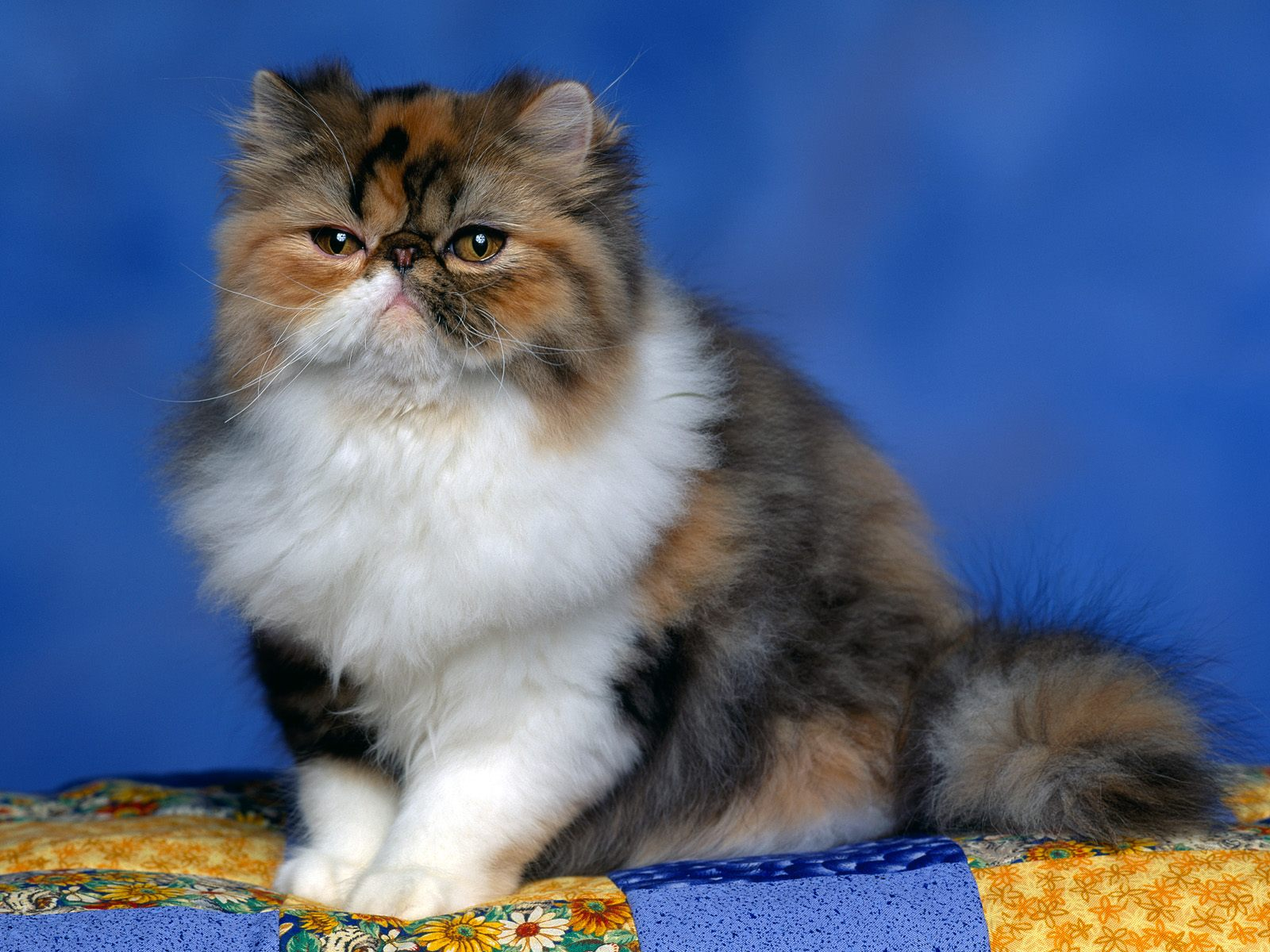 Persian Calico Kitten444888208 - Persian Calico Kitten - Persian, Leopard, Kitten, Calico
