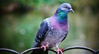 Pigeon3610517764 200x110 - Pigeon - Pigeon, Cute