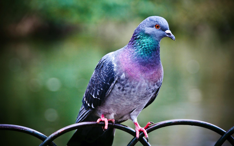 Pigeon3610517764 - Pigeon - Pigeon, Cute