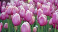 Pink Tulips5084918528 200x110 - Pink Tulips - Tulips, Pink, flower
