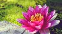 Pink Water Lily Flower5176211340 200x110 - Pink Water Lily Flower - Water, Pink, Lily, flower, Cosmea