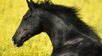 Portrait of a Friesian584597212 200x110 - Portrait of a Friesian - Tank, Portrait, Friesian