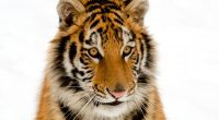 Portrait of a Tiger7979516091 200x110 - Portrait of a Tiger - Tiger, Portrait, Dark