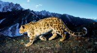 Prowling Snow Leopard883708549 200x110 - Prowling Snow Leopard - Snow, Prowling, Leopard, African