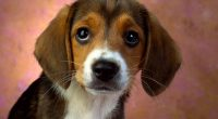 Puppy Eyes Beagle8909311602 200x110 - Puppy Eyes Beagle - Puppy, Playful, Eyes, Beagle