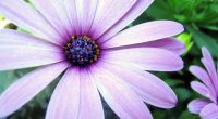 Purple Aster2481514274 200x110 - Purple Aster - Purple, Droste, Aster