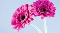 Purple Gerbera Daisies124765542 200x110 - Purple Gerbera Daisies - Sunflowers, Purple, Gerbera, Daisies