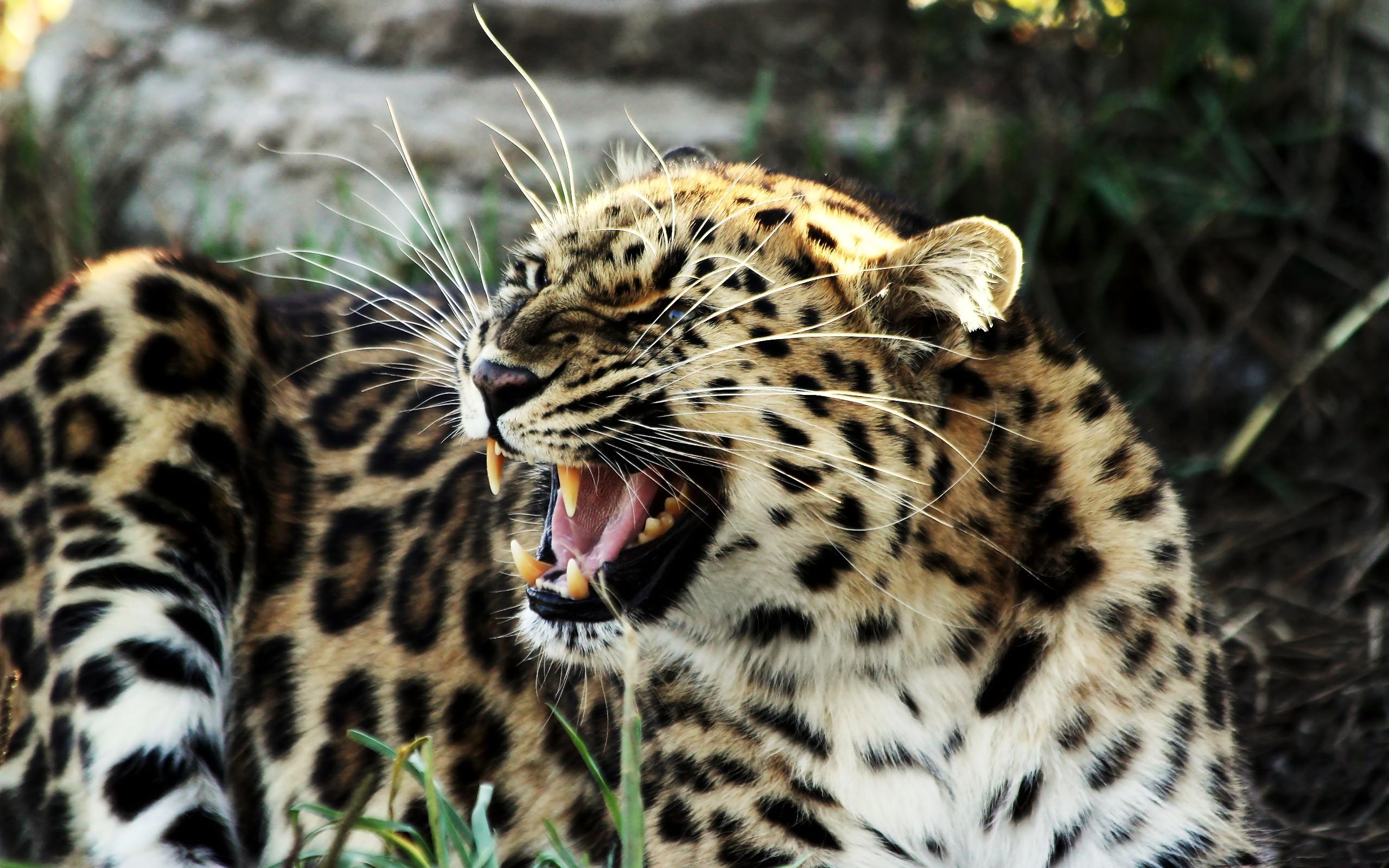 Wallpaper Roaring Tiger Widescreen Lion