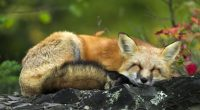 Sleeping Red Fox781026824 200x110 - Sleeping Red Fox - Sleeping, Pure