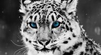 Snow Blue Eye Leopard3757219542 200x110 - Snow Blue Eye Leopard - Snow, Portrait, Leopard, blue