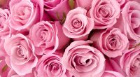 Special Pink Roses195449185 200x110 - Special Pink Roses - Special, Roses, Pink
