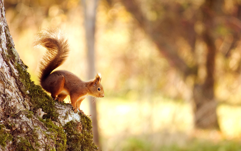 Squirrel117377126 - Squirrel - Squirrel, Lying