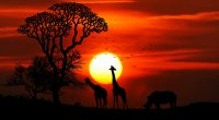 Sunset Animals399674606 200x110 - Sunset Animals - Wolves, sunset, Animals