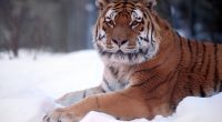 Tiger Snow Wide9973118953 200x110 - Tiger Snow Wide - Wide, Tiger, Snow, Heritage