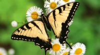 Tiger Swallowtail Butterfly7210910932 200x110 - Tiger Swallowtail Butterfly - Tiger, Swallowtail, Butterfly, Bird