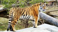 Tiger Widescreen HD7389910510 200x110 - Tiger Widescreen HD - Widescreen, Tiger, Gray