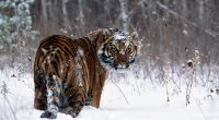 Tiger in Snow3881013871 200x110 - Tiger in Snow - Tiger, Snow, Charge!