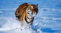 Tiger in Water7106618748 200x110 - Tiger in Water - Water, Tiger, pair