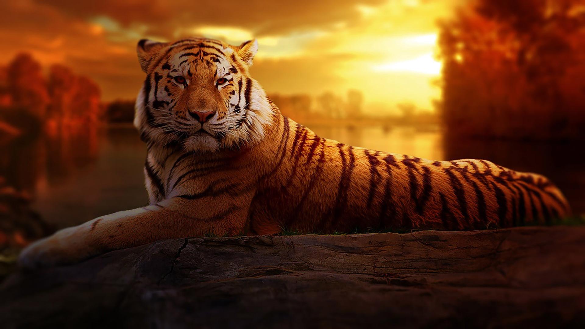 Tiger384115271 - Tiger - Wolf, Tiger