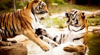 Tigers Playing922067223 200x110 - Tigers Playing - tigers, Playing, Cutest