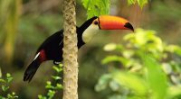 Toco Toucan in the Tropical Forest6505217059 200x110 - Toco Toucan in the Tropical Forest - Tropical, Toucan, Toco, Forest