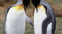 Tuxedo Check King Penguins175884833 200x110 - Tuxedo Check King Penguins - Tuxedo, Penguins, Mystic, King, Check