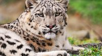 White Snow Leopard9717519693 200x110 - White Snow Leopard - Wildlife, white, Snow, Leopard