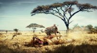 Wild Lion Zebra Chase6101314602 200x110 - Wild Lion Zebra Chase - Zebra, Wild, Lion, Goes, Chase