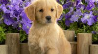 Yellow Labrador Puppy6128210937 200x110 - Yellow Labrador Puppy - yellow, Wake, Puppy, Labrador