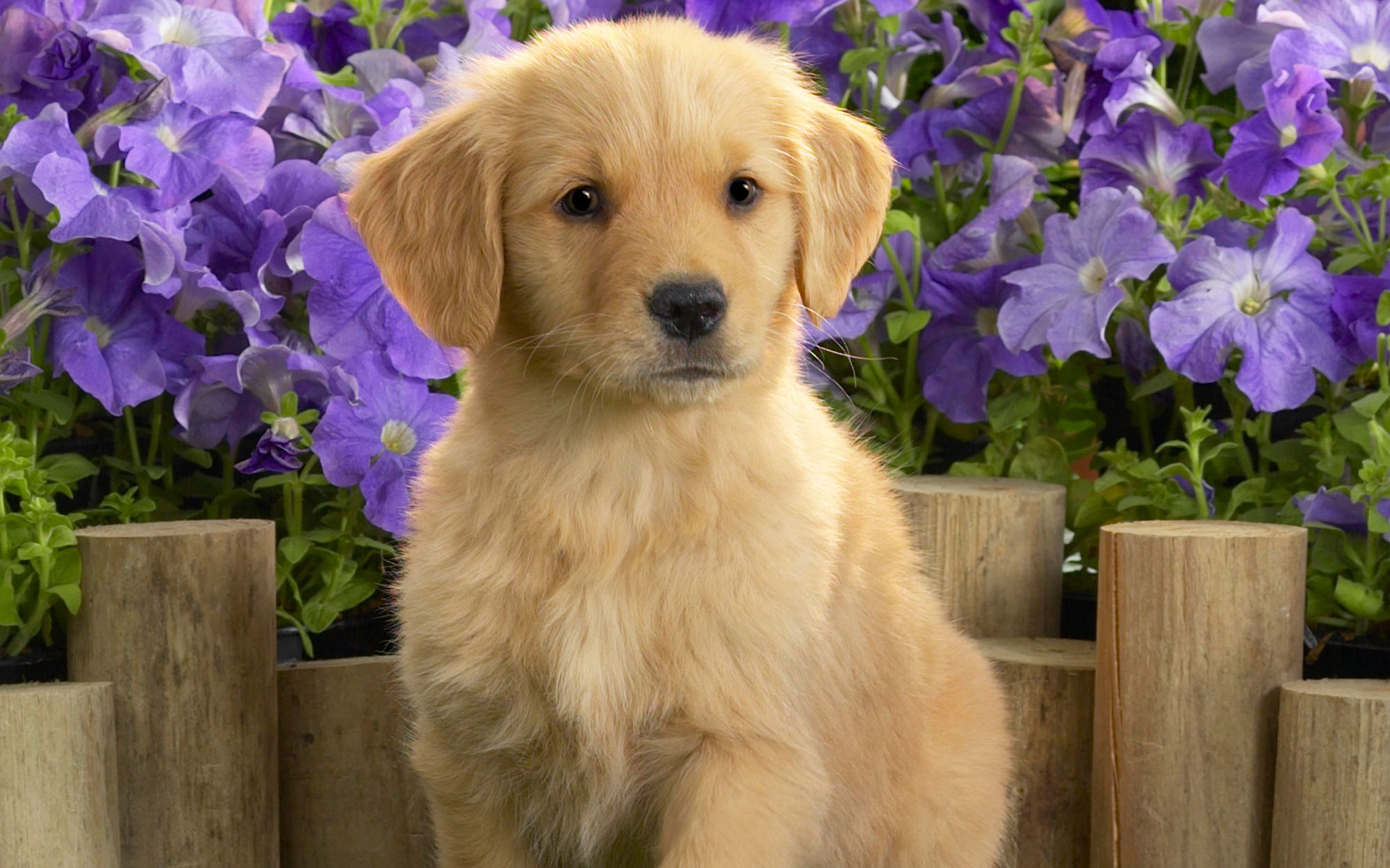Yellow Labrador Puppy6128210937 - Yellow Labrador Puppy - yellow, Wake, Puppy, Labrador