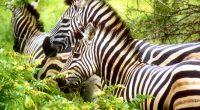 Zebras3833217420 200x110 - Zebras - Zebras, Butterfly