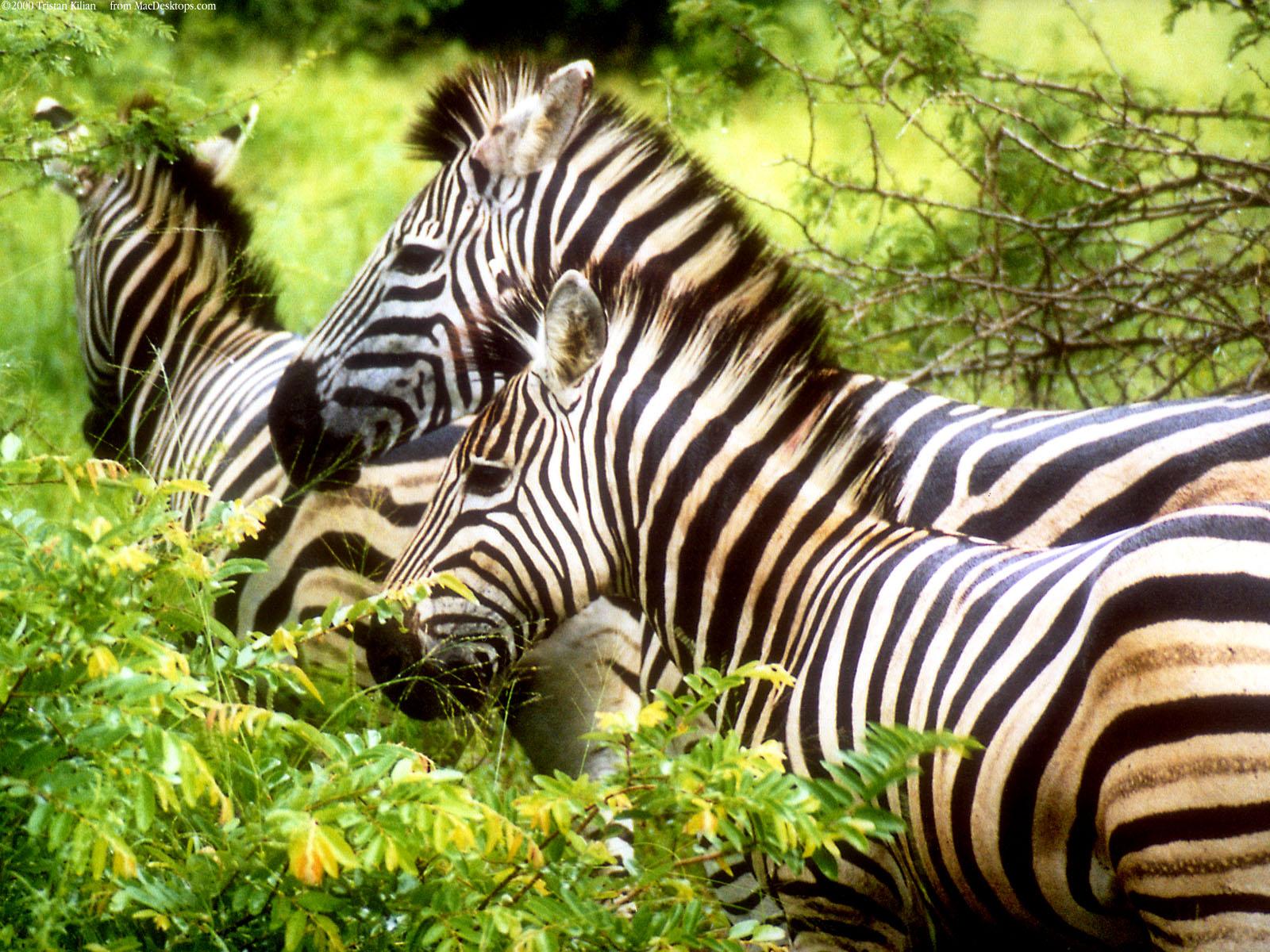 Zebras3833217420 - Zebras - Zebras, Butterfly