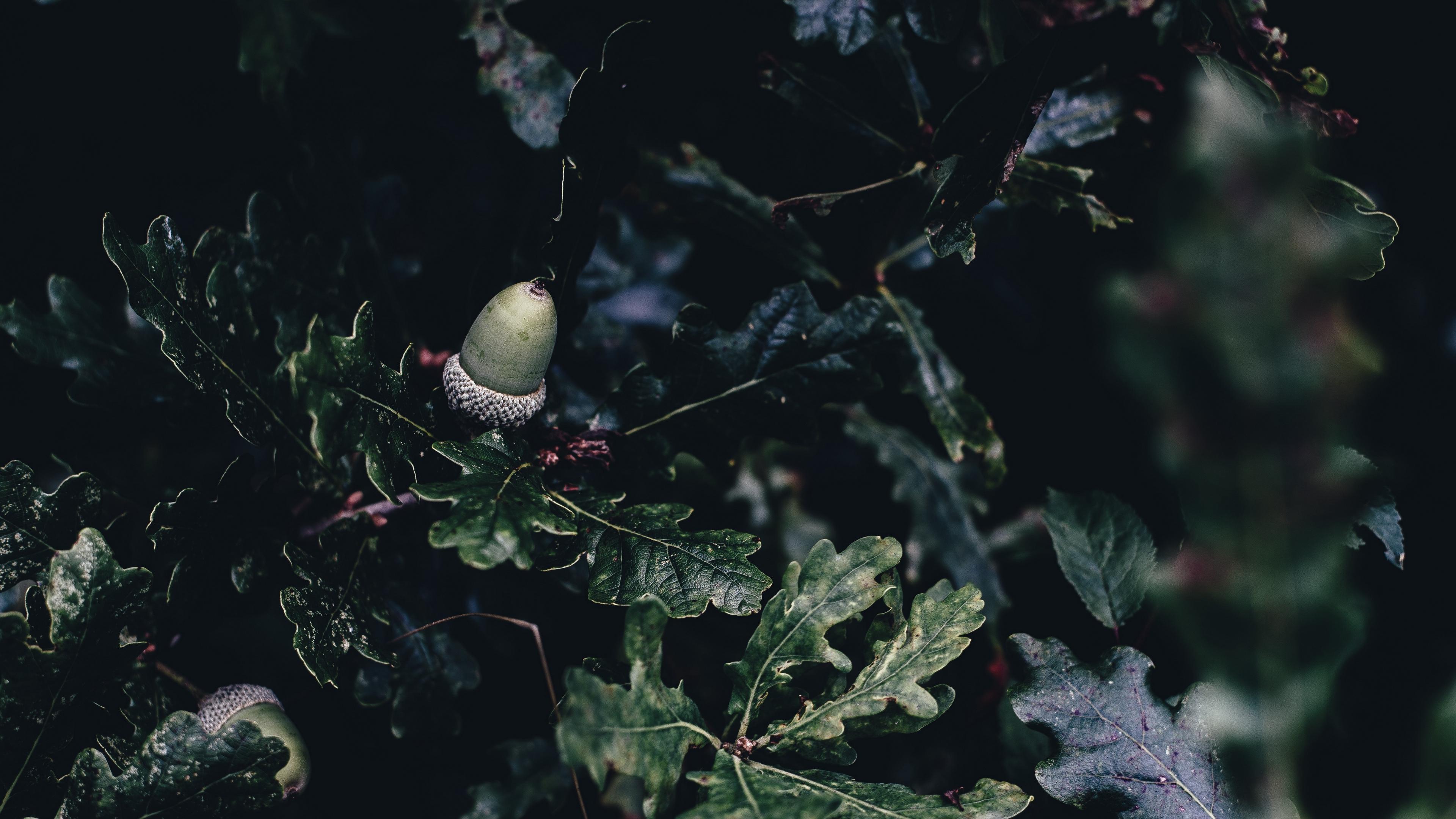 acorn oak branches 4k 1540575340 - acorn, oak, branches 4k - oak, branches, acorn