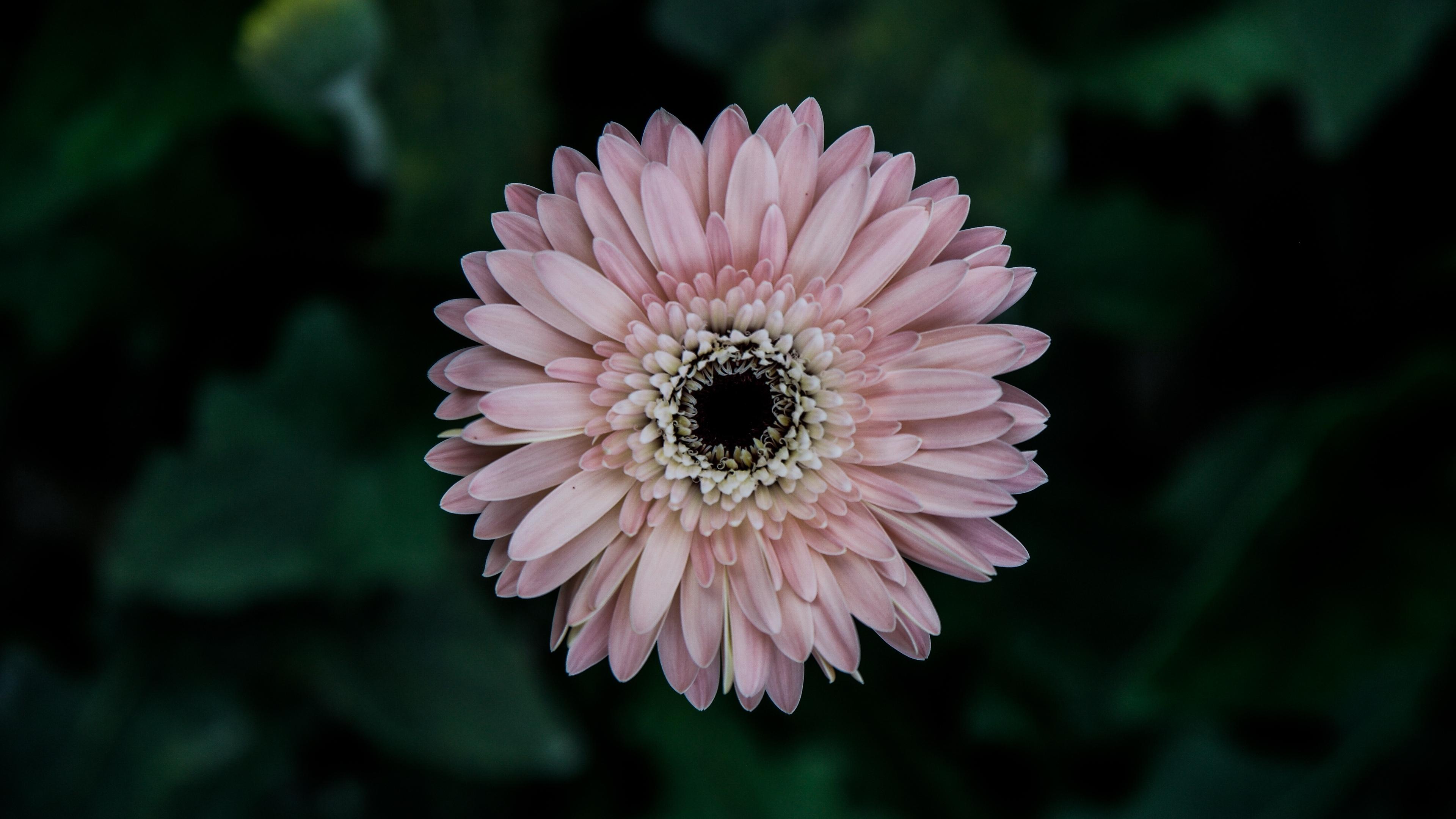 aster flower bud petals 4k 1540064782 - aster, flower, bud, petals 4k - flower, bud, Aster