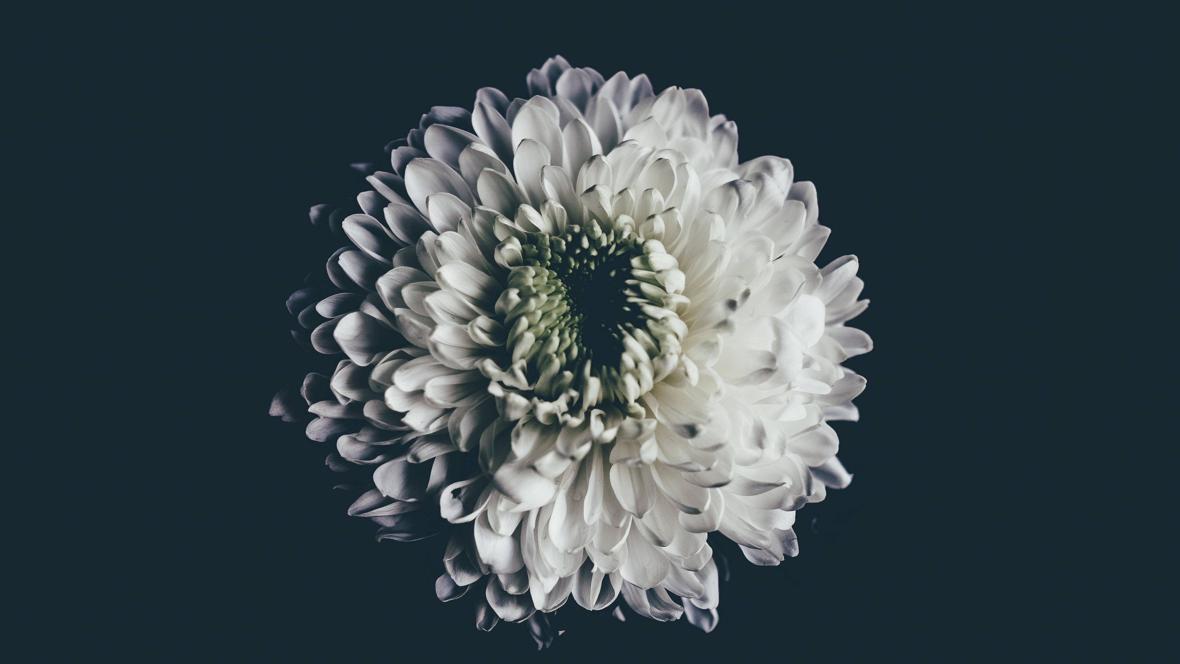 aster white flower bud 4k 1540575220 - aster, white, flower, bud 4k - white, flower, Aster