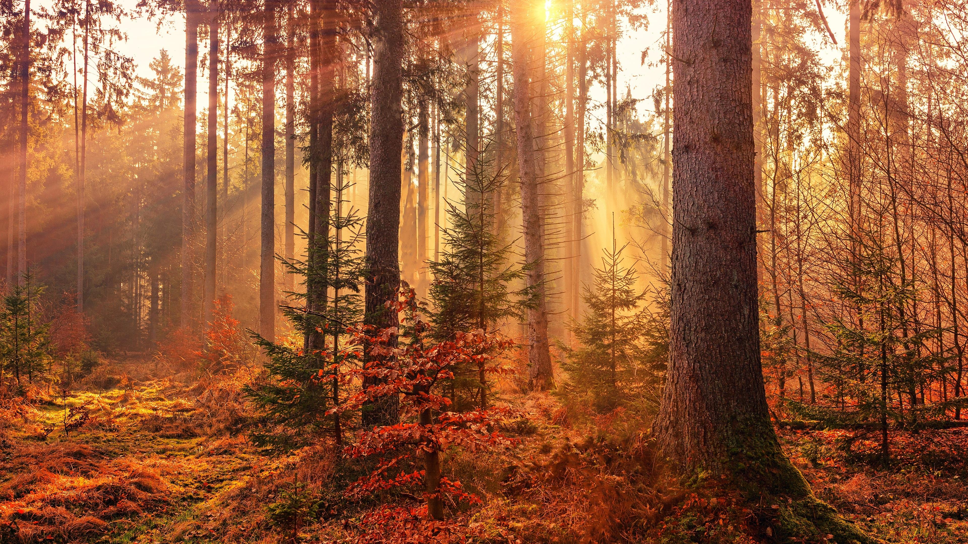 autumn sunbeams forest light rays 4k 1540139299 - Autumn Sunbeams Forest Light Rays 4k - sunbeam wallpapers, nature wallpapers, hd-wallpapers, forest wallpapers, autumn wallpapers, 5k wallpapers, 4k-wallpapers