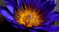 blue lotus star lotus water lily star petals bud 4k 1540064355 200x110 - blue lotus, star lotus, water lily star, petals, bud 4k - water lily star, star lotus, blue lotus