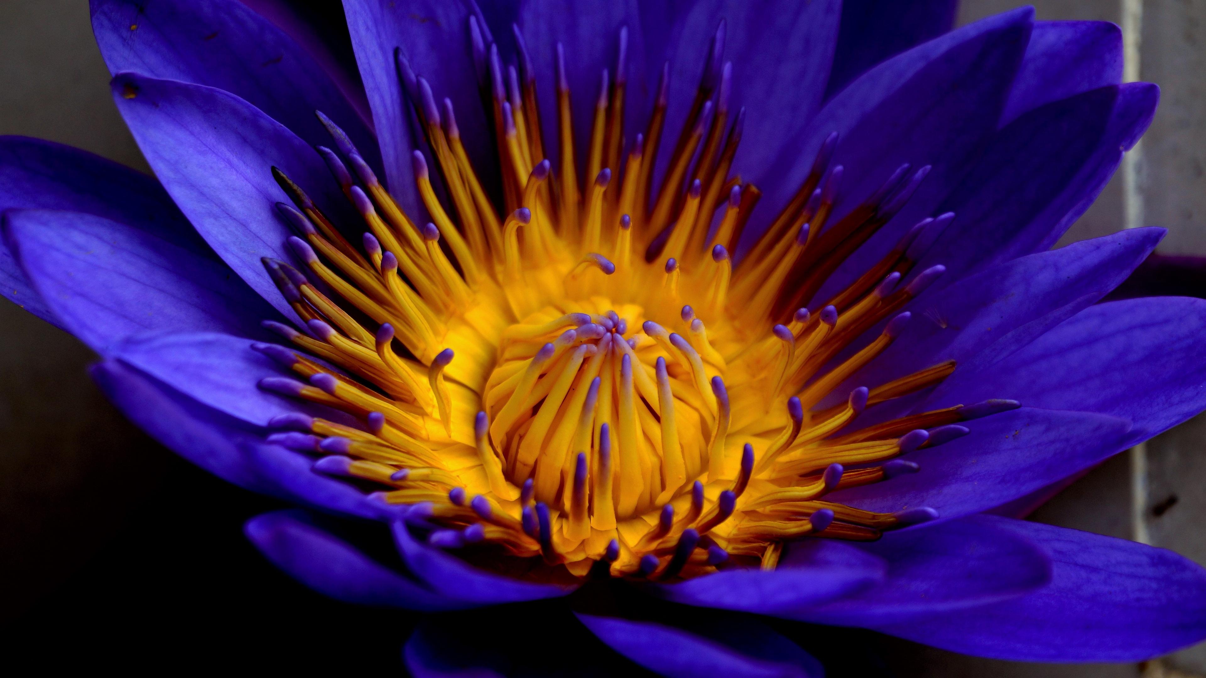 blue lotus star lotus water lily star petals bud 4k 1540064355 - blue lotus, star lotus, water lily star, petals, bud 4k - water lily star, star lotus, blue lotus
