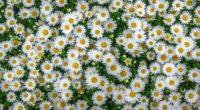 chamomile field flowers flowerbed 4k 1540064514 200x110 - chamomile, field, flowers, flowerbed 4k - Flowers, Field, chamomile