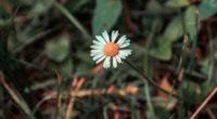 chamomile flower field flower blur 4k 1540064153 200x110 - chamomile, flower, field flower, blur 4k - flower, field flower, chamomile