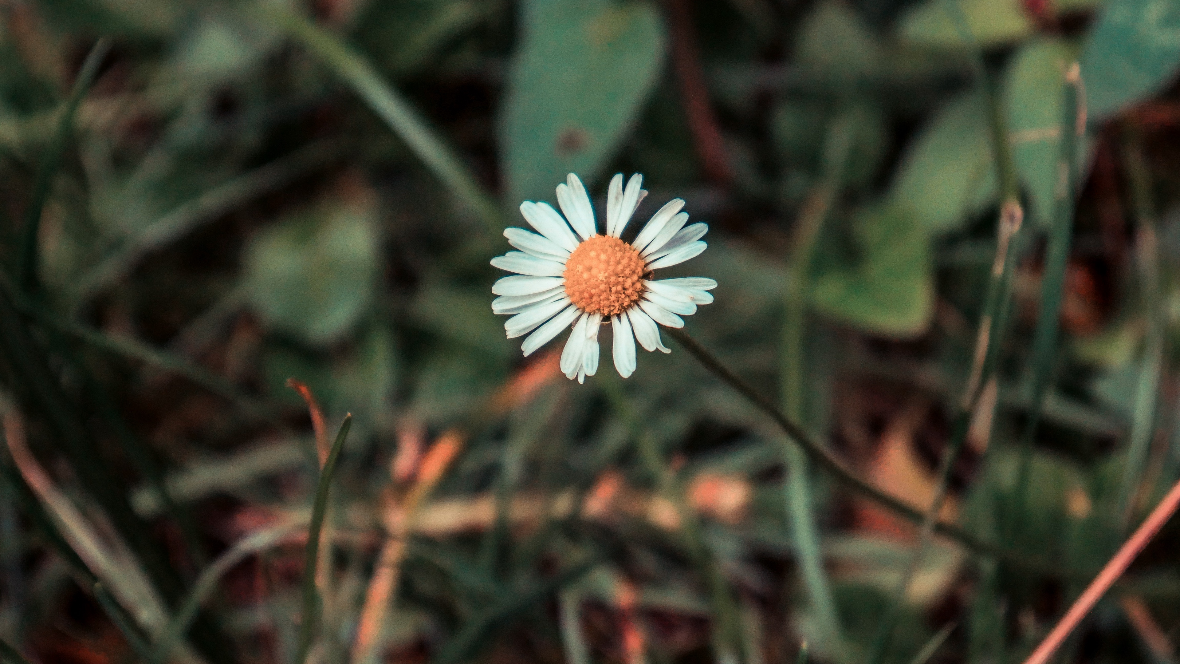 chamomile flower field flower blur 4k 1540064153 - chamomile, flower, field flower, blur 4k - flower, field flower, chamomile
