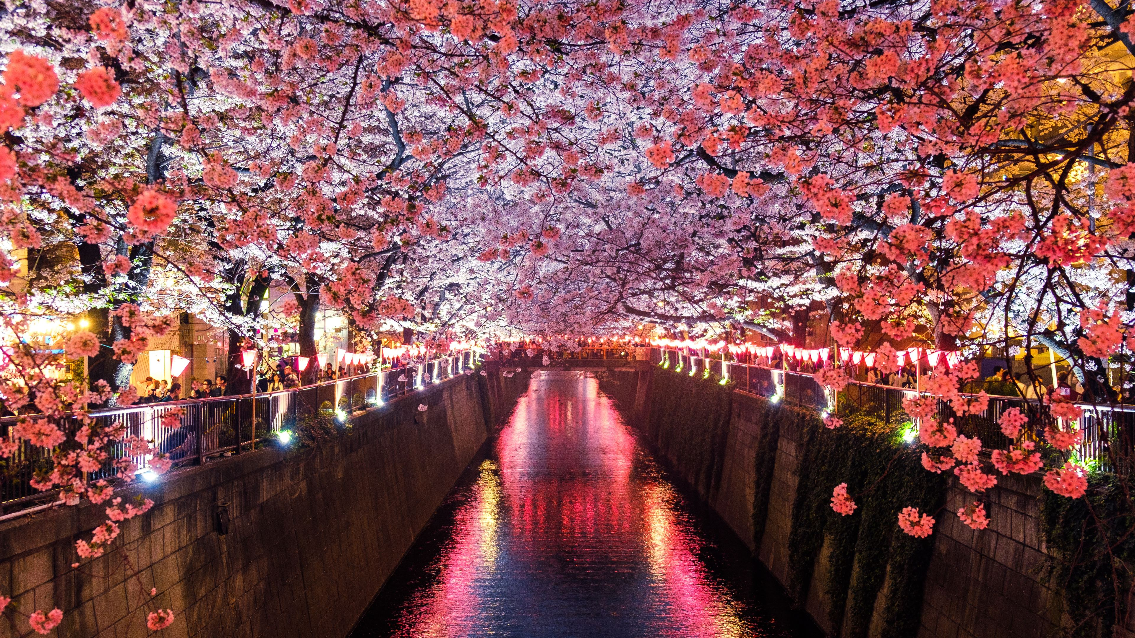 cherry blossom trees covering river canal 1540142573 - Cherry Blossom Trees Covering River Canal - trees wallpapers, river wallpapers, nature wallpapers, hd-wallpapers, cherry wallpapers, 5k wallpapers, 4k-wallpapers