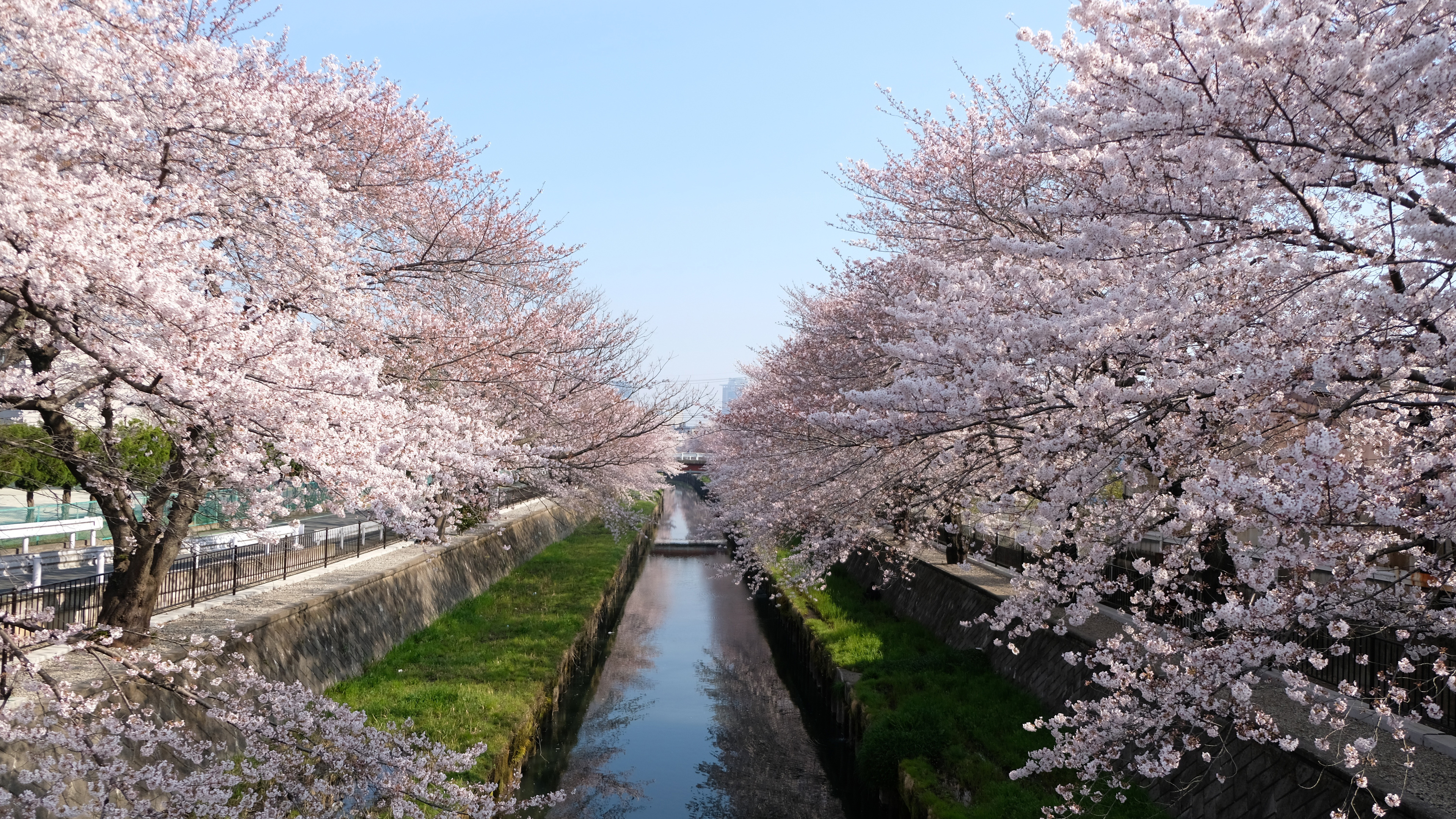 cherry trees seasonal 4k 1540136219 - Cherry Trees Seasonal 4k - trees wallpapers, spring wallpapers, nature wallpapers, hd-wallpapers, cherry wallpapers, 5k wallpapers, 4k-wallpapers
