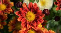 chrysanthemum flower petals 4k 1540065266 200x110 - chrysanthemum, flower, petals 4k - Petals, flower, Chrysanthemum