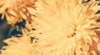 chrysanthemum petals flower bright 4k 1540064545 200x110 - chrysanthemum, petals, flower, bright 4k - Petals, flower, Chrysanthemum