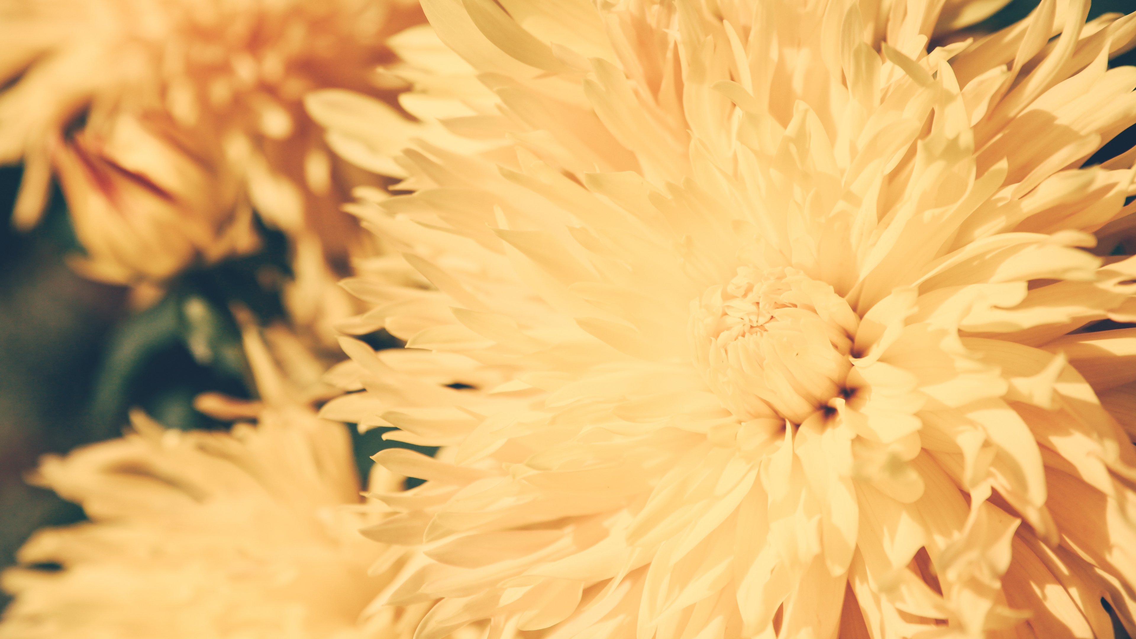 chrysanthemum petals flower bright 4k 1540064545 - chrysanthemum, petals, flower, bright 4k - Petals, flower, Chrysanthemum
